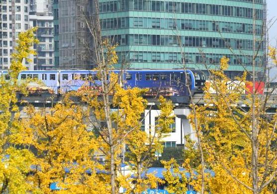 重庆街头金黄树叶成美丽风景