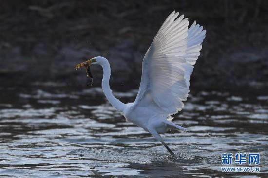 山西太原:白鷺汾河舞