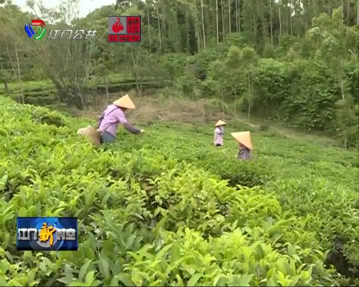 《在希望田野上》 鶴山紅茶飄香  助推鄉村振興