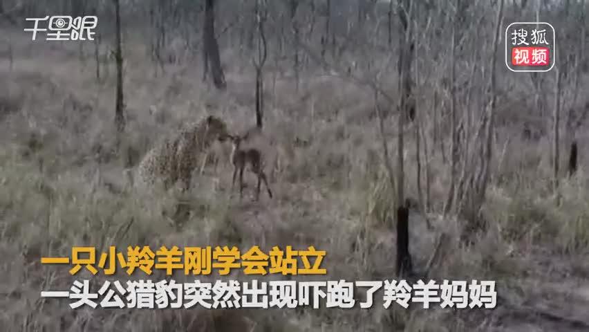误将猎豹当妈妈 小羚羊舔2分钟回神逃跑命丧豹口