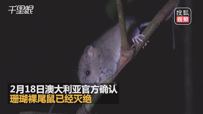 首个因全球变暖而灭绝的物种:珊瑚裸尾鼠