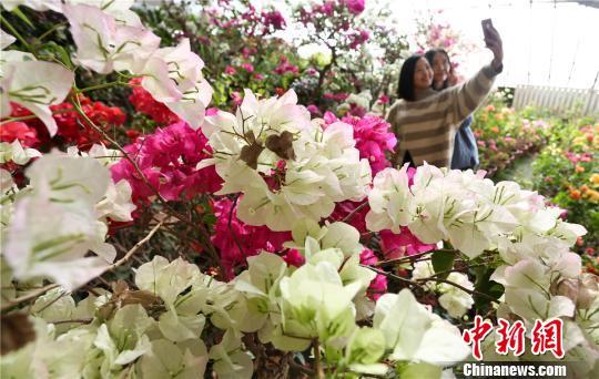 甘肃戈壁万盆鲜花盛开