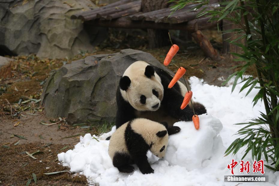 大熊猫专门造雪玩耍