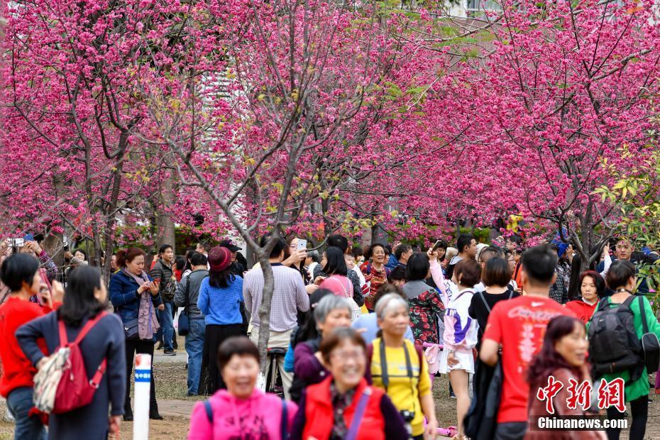 华南农业大学樱花怒放吸引游人