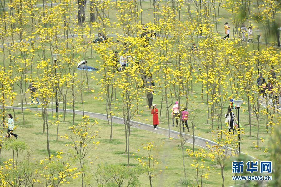 广西南宁:黄花风铃木迎春绽放