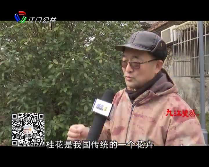 """真稀奇 桂花树新年结""""贵子"""""""