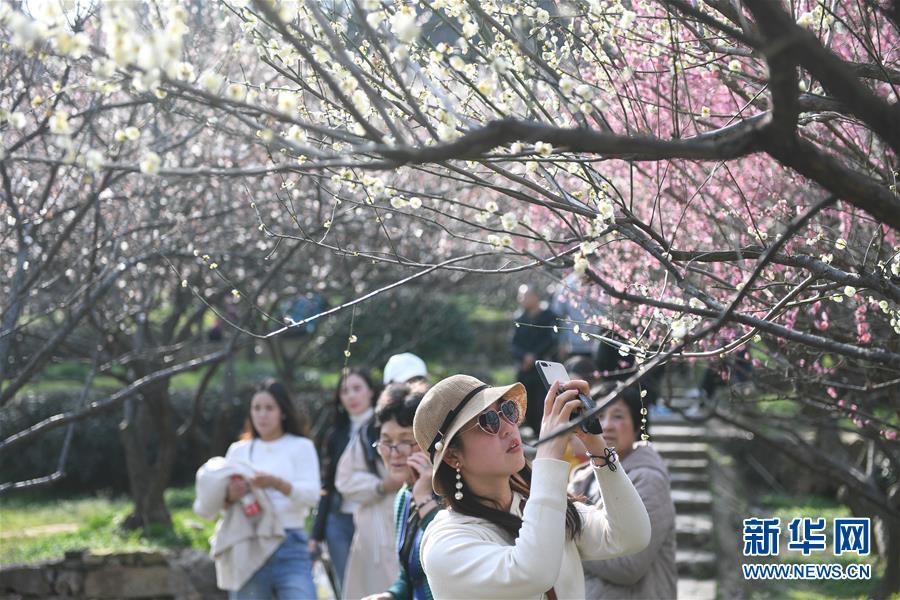 江苏苏州:香雪海里赏花寻春