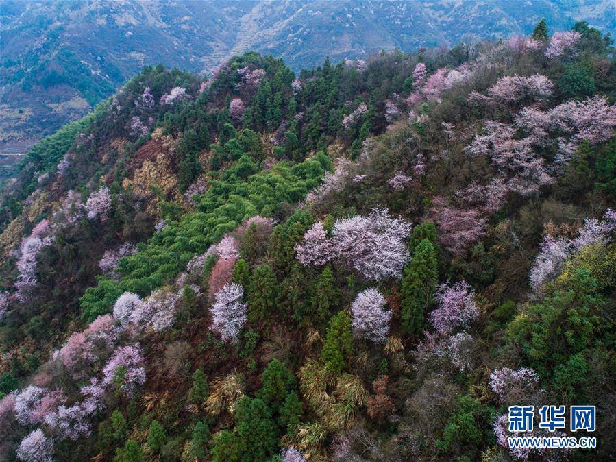 浙江建德:万亩樱花盛开