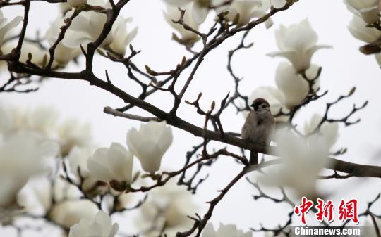 白玉兰绽放报春 洁白花朵宛若雪降枝头