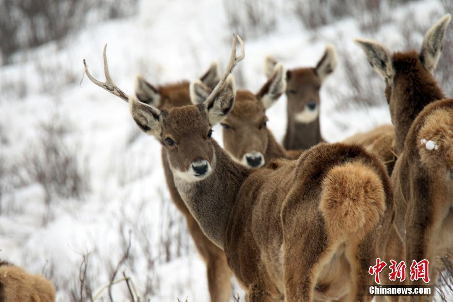 澜沧江源记录到白唇鹿