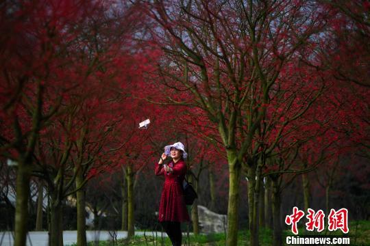 重庆春季红枫层林尽染格外壮观