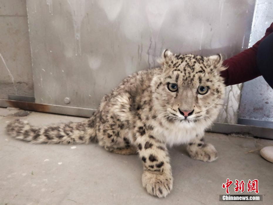 西藏村民发现幼年雪豹