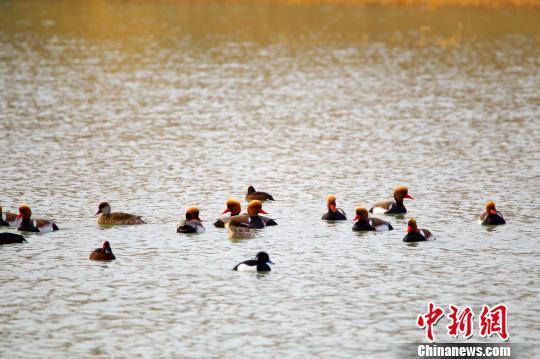 候鸟齐聚新疆白杨河