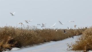 100余只东方白鹳起舞挠力河国家级自然保护区