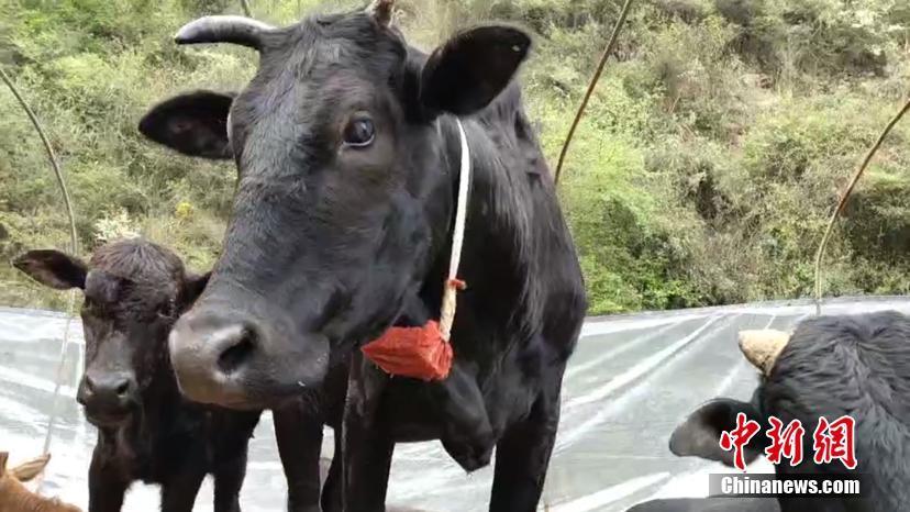 贵州小伙给牛装GPS
