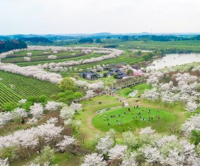 江西南昌樱花满树盛开
