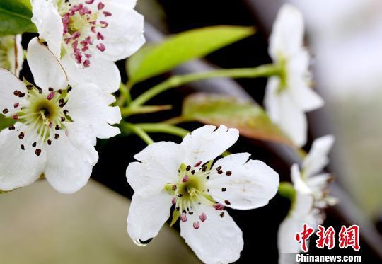 湖南带雨梨花迎春绽放