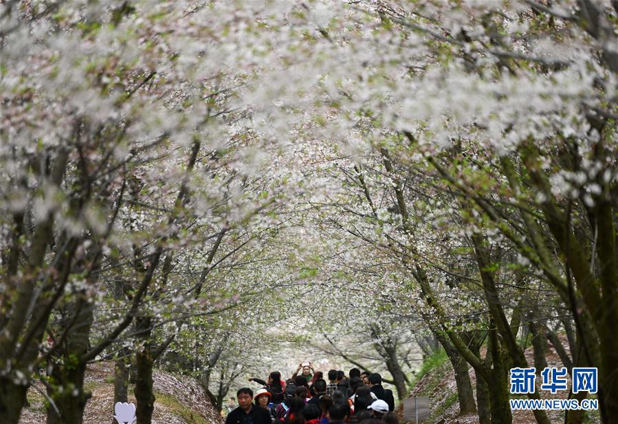 樱花如雪春正好
