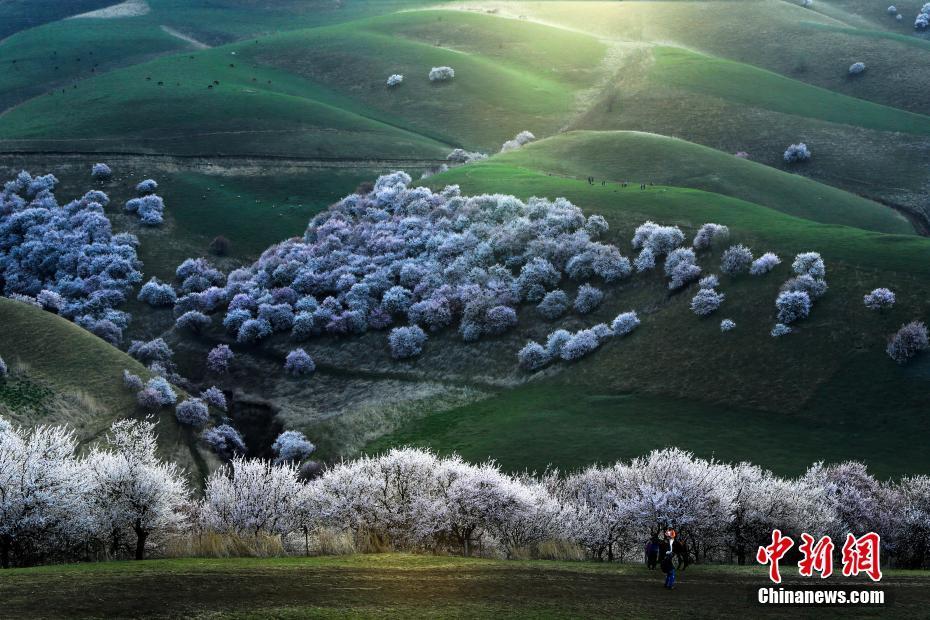 新疆新源县3万亩野杏花迎来观赏季