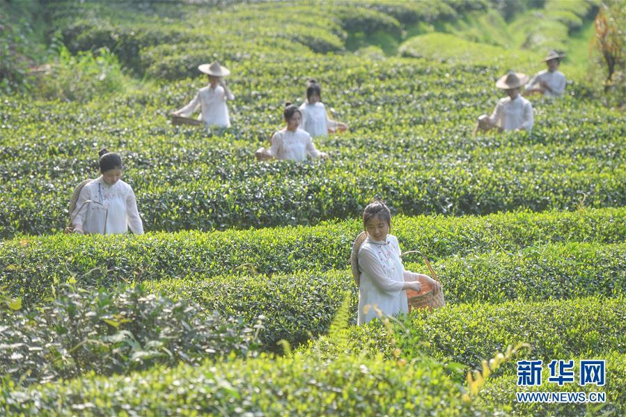 福建武夷山:采茶体验游