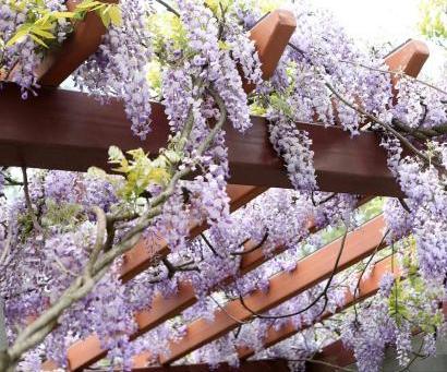 古紫藤上海迎春盛放