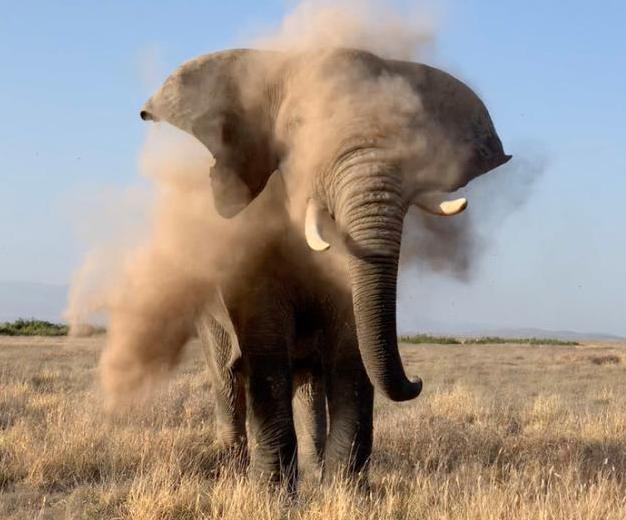 大象鼻痒打喷嚏制造沙尘
