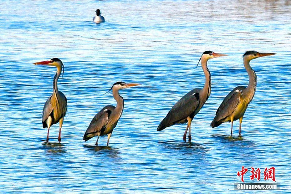 新疆引来野生水禽歇脚