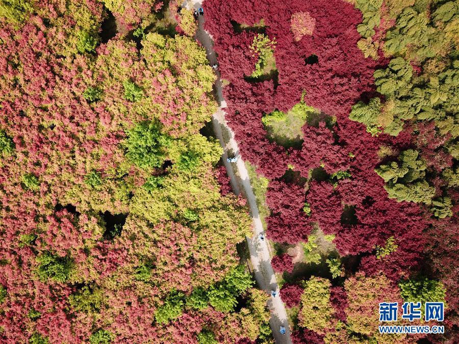 枫林新叶吐红