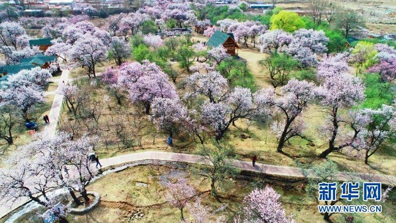 杏坞番红又一春