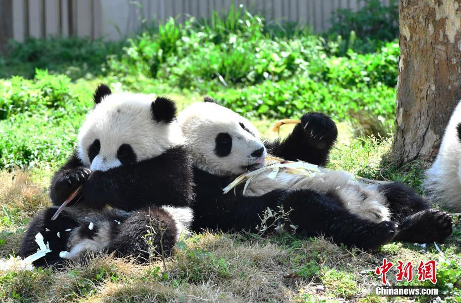 大熊猫幼儿园开班了