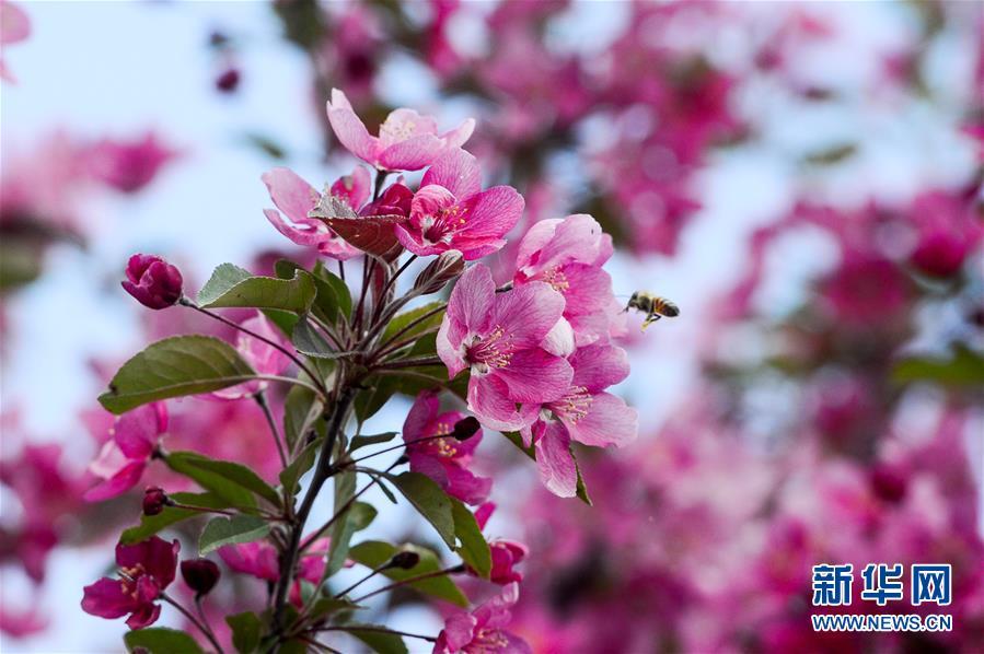 新疆:海棠花开春意浓