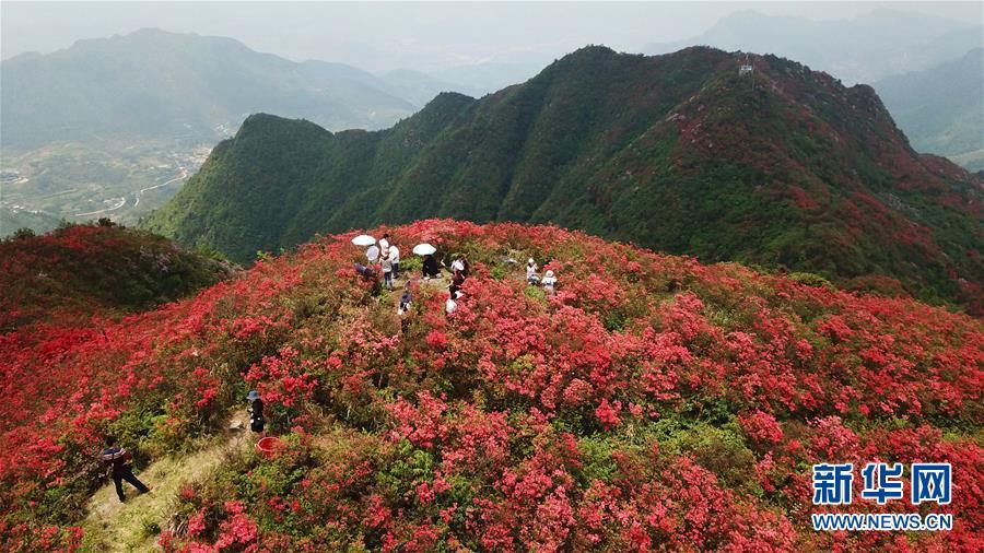 贵州丹寨:岭上开遍映山红