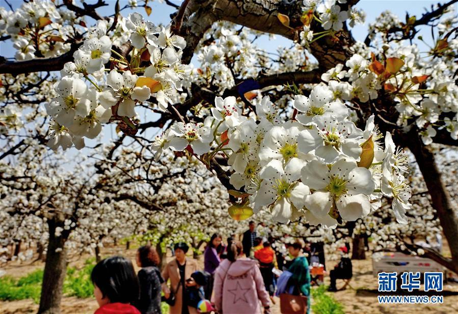 梨花溢香满园春