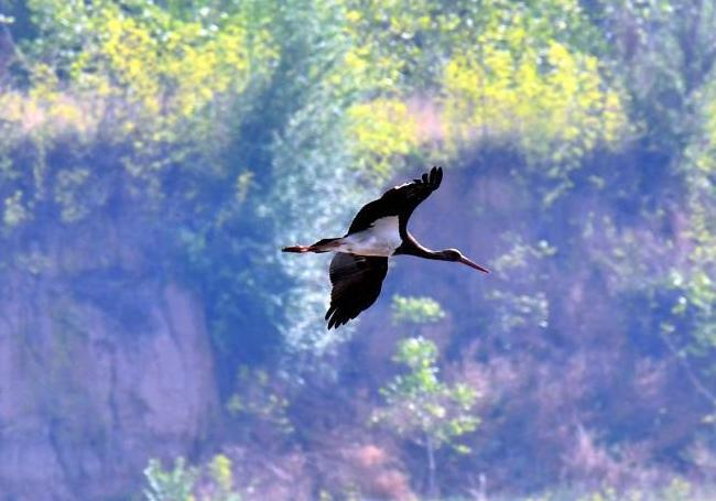 """""""鸟中大熊猫""""黑鹳现身山西精卫湖 为濒危物种"""