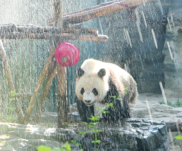 北京大熊猫淋浴降温