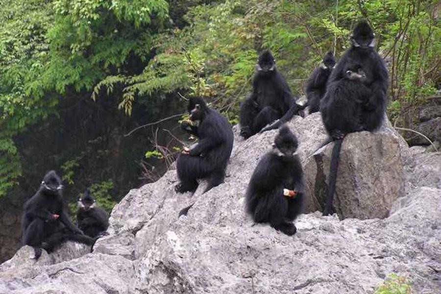 重庆金佛山黑叶猴数量增加到150余只