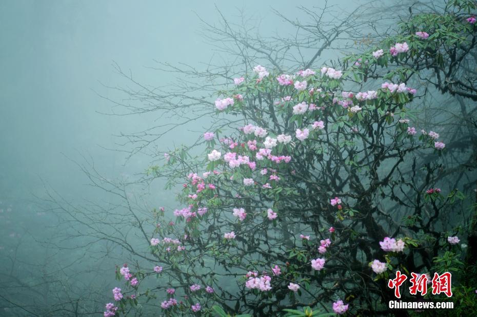 四川瓦屋山杜鹃花盛开