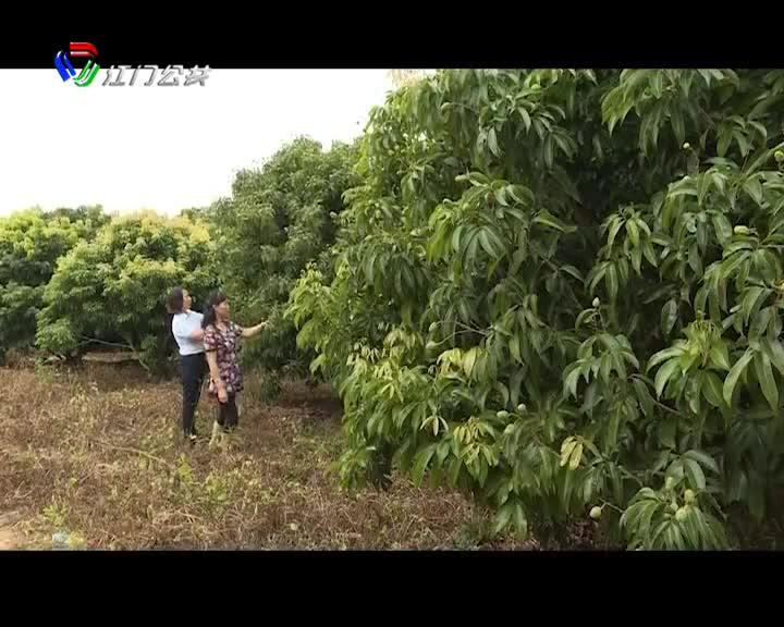 台山:花期雨水多 荔枝大减产