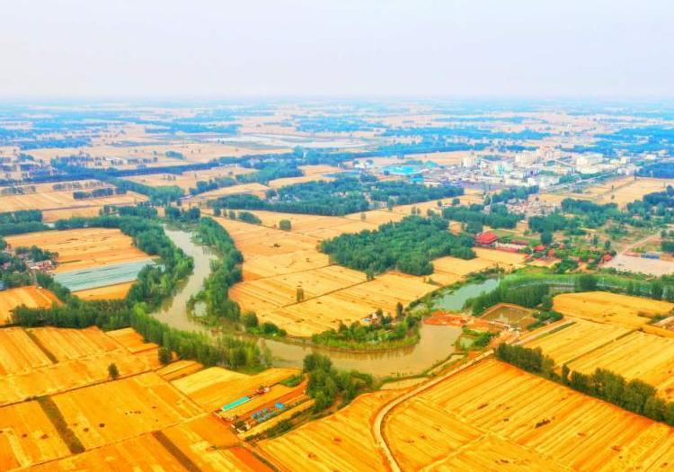 皖北小麦收割季 麦浪滚滚遍地金黄