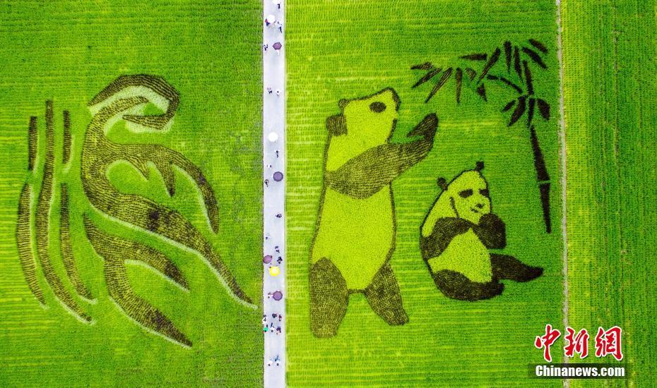 稻田现巨型大熊猫图案