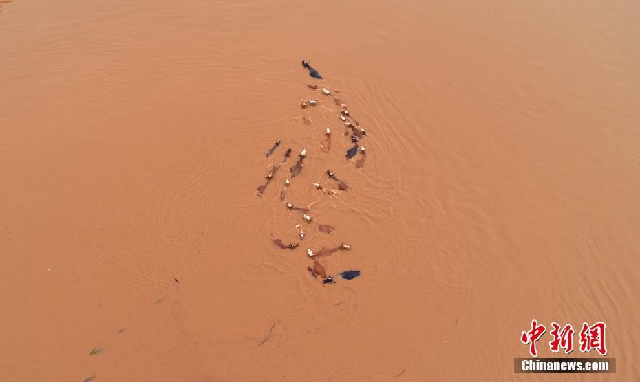 江西牛群被洪水围困