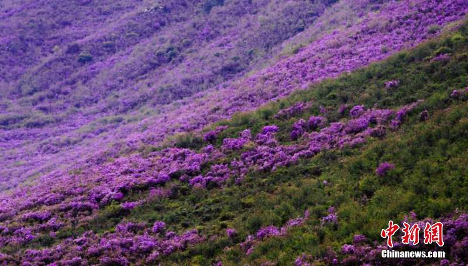 满山遍野紫杜鹃如地毯