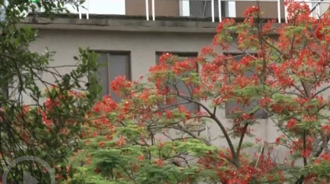 新會城區鳳凰花競相開放