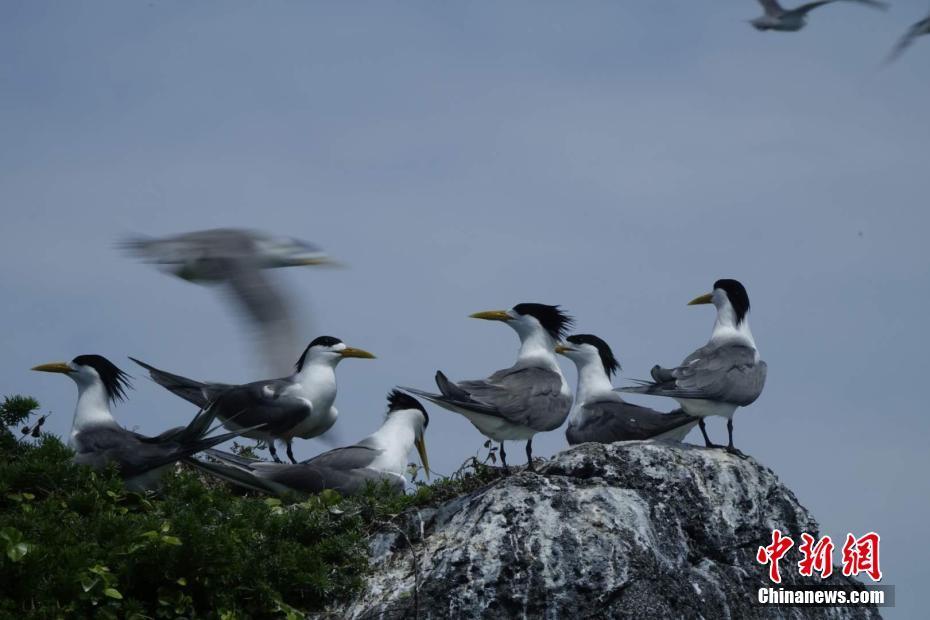 燕鸥飞抵广东南澳栖息