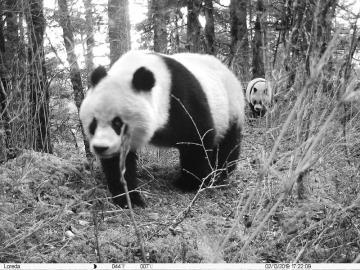 野生大熊貓母子同框