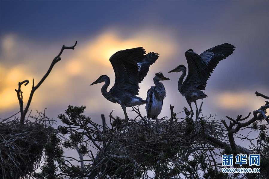 陜西洛南:周灣蒼鷺千姿百態