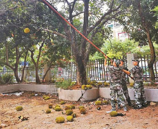 熟透菠萝蜜坠落人行道 绿化部门提醒市民不要采摘食用