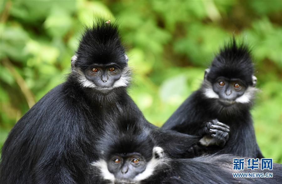 贵州黑叶朝洪�|天等人�p�喝道猴数量增加