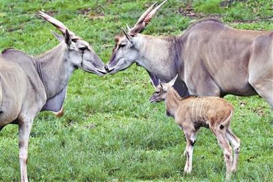 羚羊宝宝露真容 深圳野生动物园新诞生一只雄性羚羊