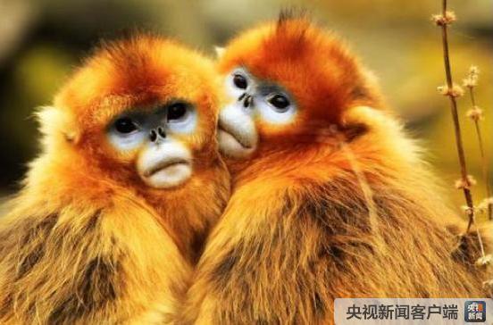 秦嶺金絲猴繁育創紀錄